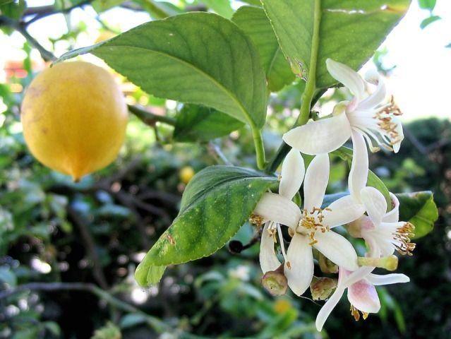 Le citronnier des 4 saisons produit des fruits toute l'année. Conseils de culture pour récolter de beaux citrons en toute saison, en pot ou en pleine terre.