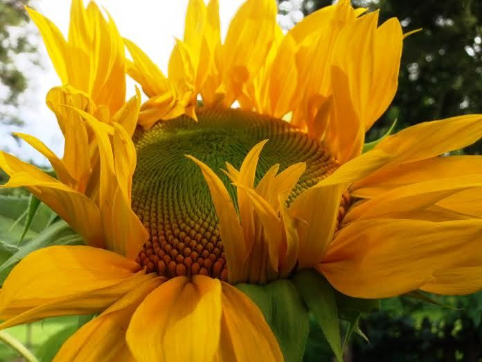 18 Sunflower Facts You Never Knew