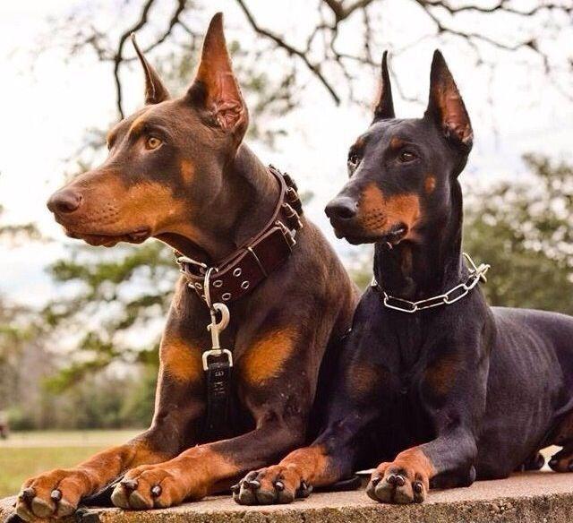 Male And Female Doberman Pinschers Dobermanpinscher Dog