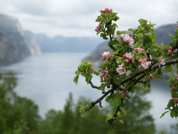 Apple trees in bloom. May 14th 2014