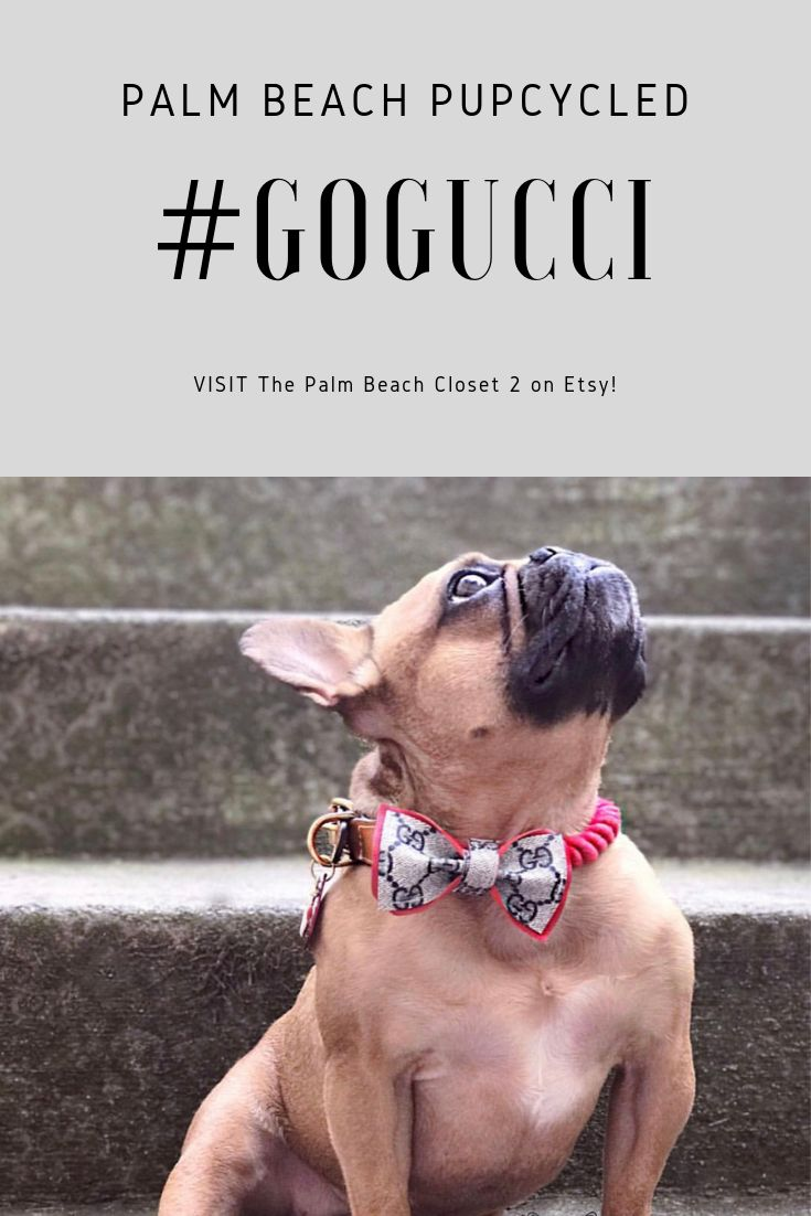 French bulldog in red gucci bowtie gucci dog collar dog