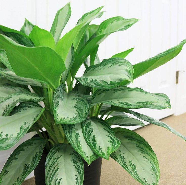 Plante Aglaonema purifie l'air et améliore la santé