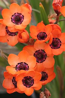 "Sparaxis Elegans - This South African bulb has vivid orange petals with a royal purple circle on the interior surrounded by a dotted line of intricate black and yellow markings. It grows to 6"" tall, with blooms that span almost 2""."