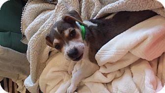 Centreville, VA - Australian Shepherd/Hound (Unknown Type) Mix. Meet Dr Watson, a puppy for adoption. http://www.adoptapet.com/pet/18472535-centreville-virginia-australian-shepherd-mix