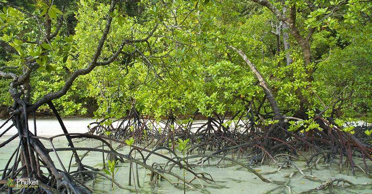 Mangrove and roots on sand, Surin Islands, Pang-nga Province, Thailand