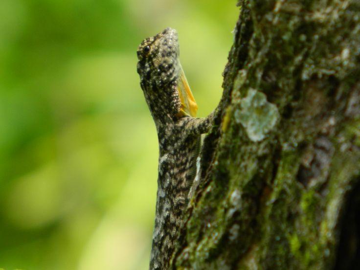 Small tree lizard - GLNP