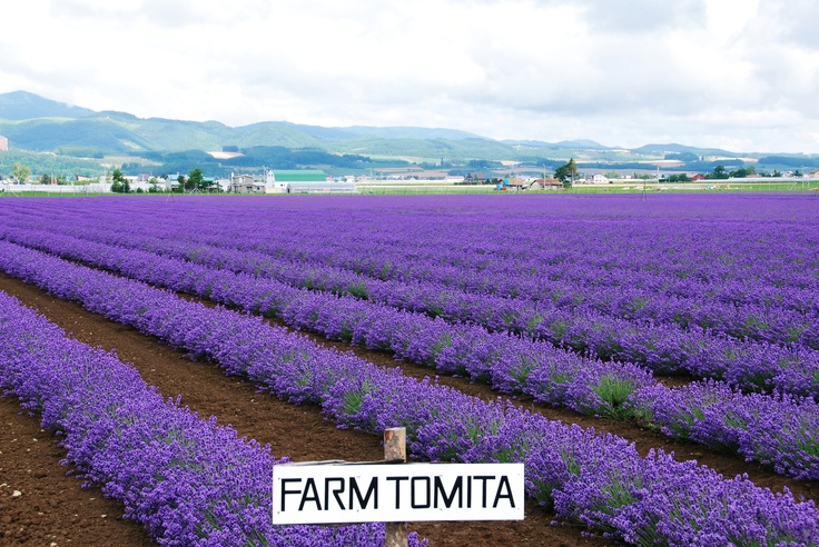 Furano Lavender field, Hokkaido, Japan