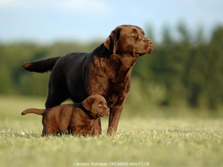 Photos | Labradoro Retriveriai OKEANAS ELITE kennel