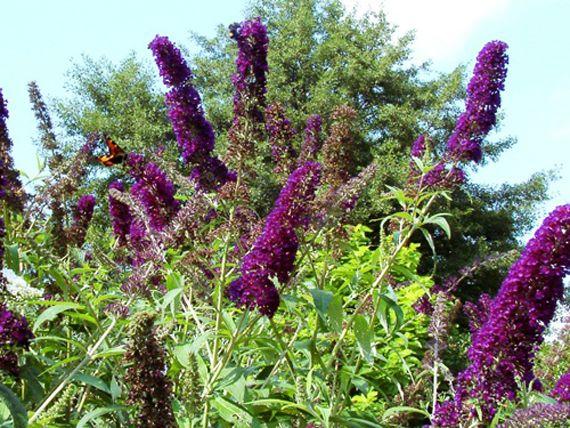 buddleja davidii black knight butterfly bush bushes and shrubs pinterest butterflies. Black Bedroom Furniture Sets. Home Design Ideas