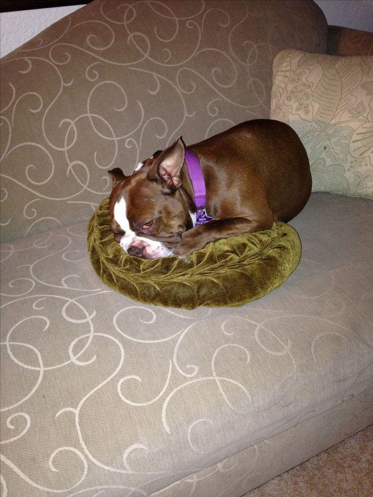 Sleepy Sasha, the red boston terrier