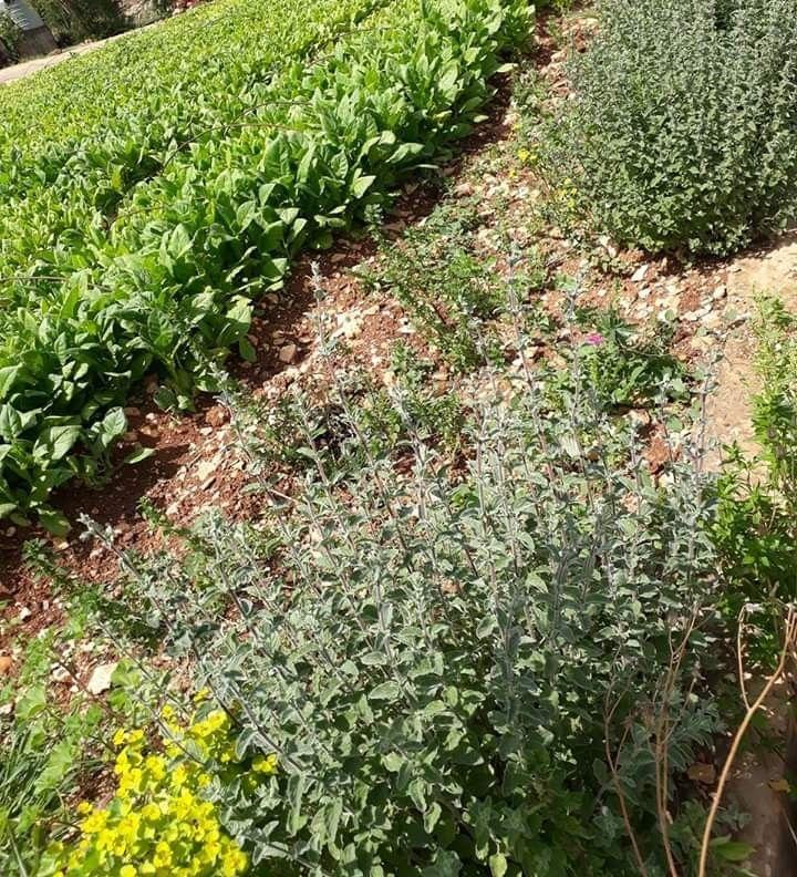 زعتر ودخان Plants