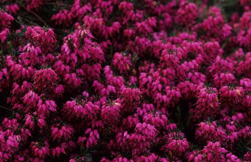 """Erica carnea 'Myretoun Ruby' Winter Heath. Hundreds of small, urn-shaped flowers that open dusty rose and deepen through magenta to rich, ruby-red. They cover this low-spreading, evergreen shrub from January through May, creating an excellent groundcover for sunny locations or adding interest to winter containers. 6"""" x 16"""""""