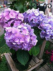 Hydrangeas have huge heads in blue, purples, whites and pinks.