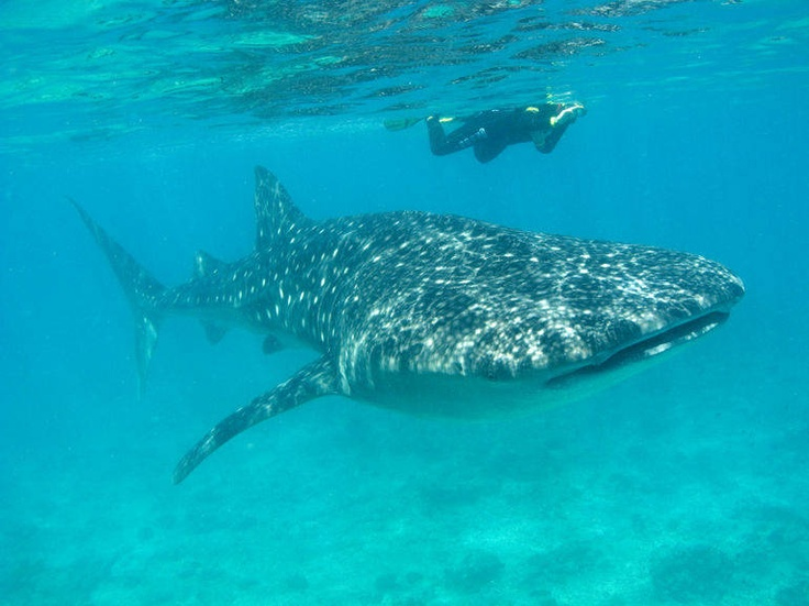 Mexico Bucket List: Snorkel with whale sharks