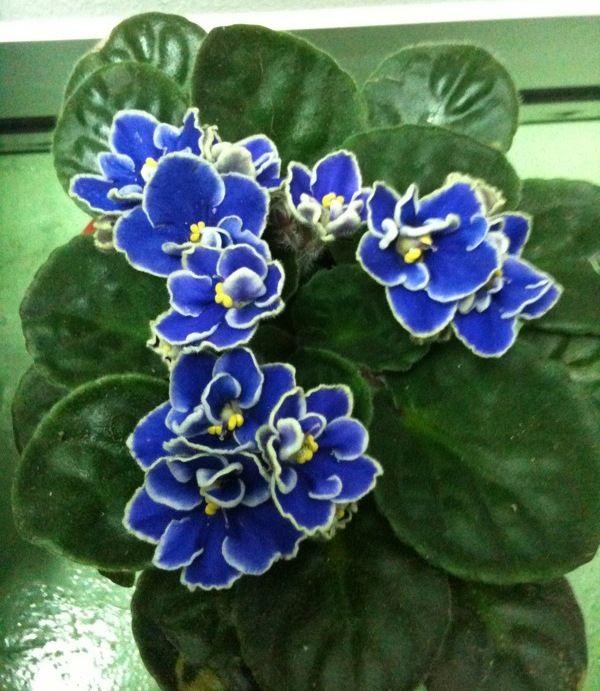 african violets pictures | African Violets