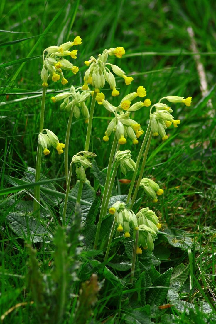 Cowslip, primula vulgaris