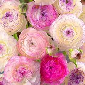 Ranunculus in pretty shades of pink and purple