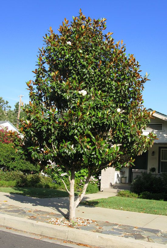 "Magnolia grandiflora ""little gem"" - 4m tall specimen tree with scented white flowers"
