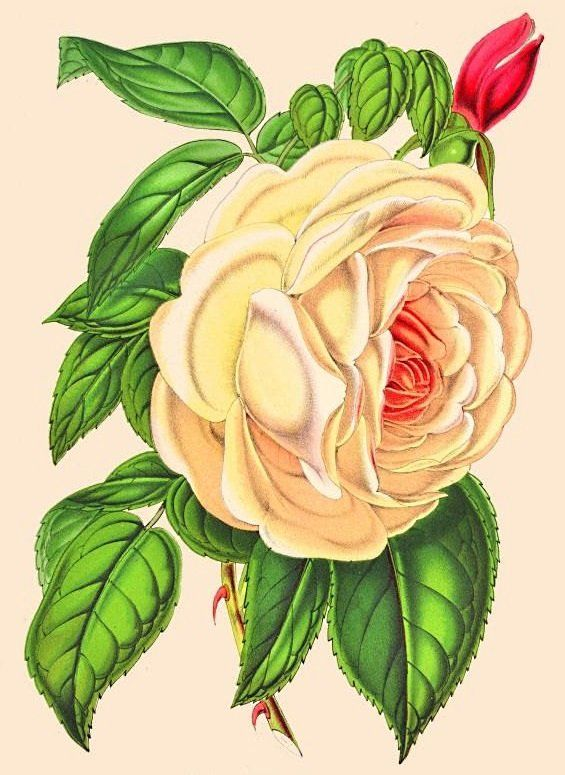 Схема вышивки «роза нежная» - Вышивка крестом