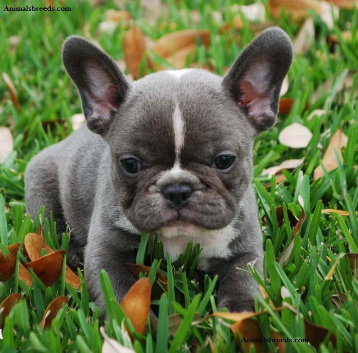 french bulldog behavior 25 best ideas about french bulldog temperament on 4934