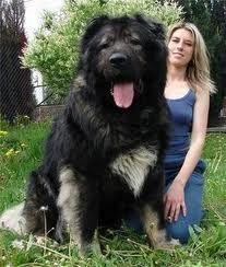 Caucasian Shepherd Dog- He is HUGE !