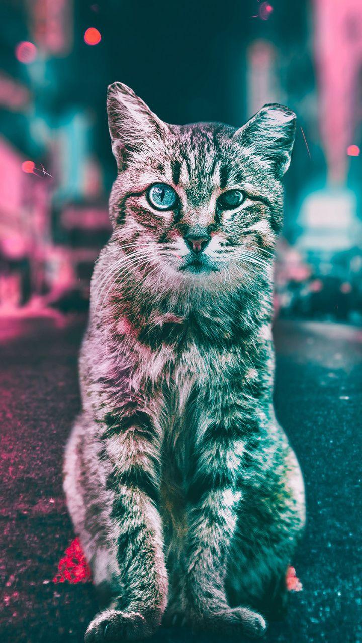 Curious Cat Stare Animal 720x1280 Wallpaper Animal Wallpaper Curious Cat Animals