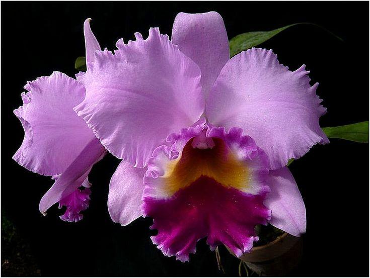 Best orchids garden ideas on pinterest orchid in