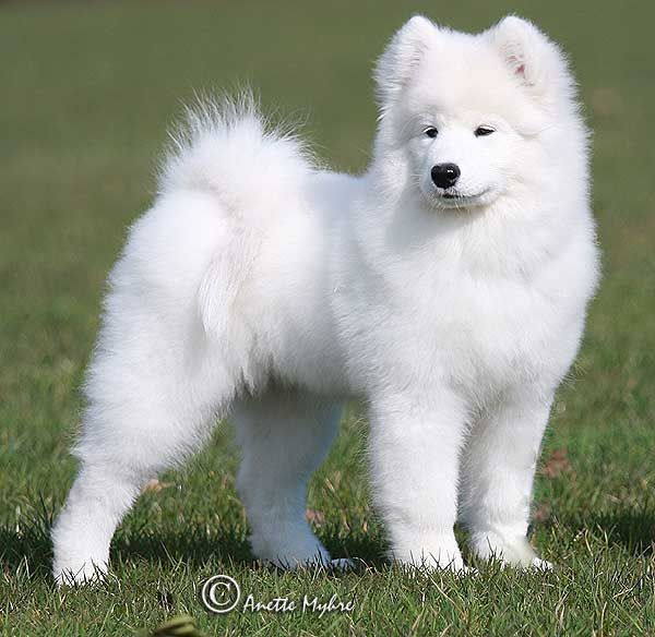 samoyed mythology Other myths say the bow is a stream of water that souls in heaven drink from   the samoyeds, a siberian mongolian people, and the cherokee people say it is .
