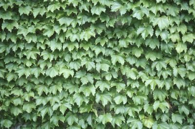 Types of Ivy Vines | Home Guides | SF Gate