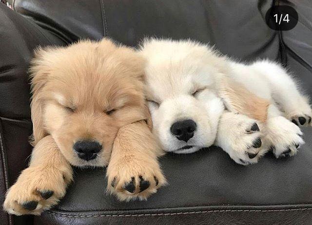 Sweet Golden Retriever Puppies Labradorretriever Cute Baby