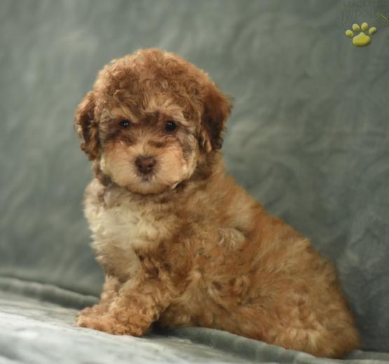 Schnoodle Schnauzer Poodle Puppiesofpinterest Pinterestpuppies