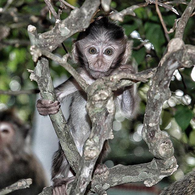 #cucciolo #scimpanzé #scimmia #occhi #dolcezza #piccolo #baby #chimpanzee #monkey #eyes #little #sweetness #bali by lgfme