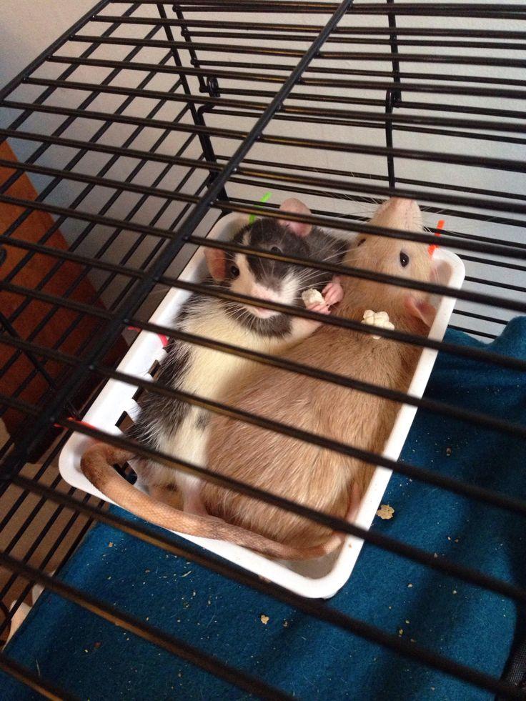 Brotherly love  #aww #cute #rat #cuterats #ratsofpinterest #cuddle #fluffy #animals #pets #bestfriend #ittssofluffy #boopthesnoot