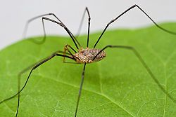 It may be one of the most easily identifiable pests but it's also commonly misrepresented.  Granddaddylonglegs, or daddylonglegs, are often thought to be spiders but are actually harvestmen.  Harvestmen get their name because that is when they are usually seen…during harvest …