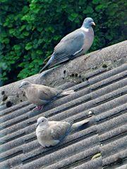 Natural Pigeon Repellant