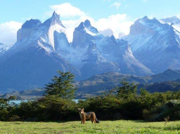 Parque Nacional Torres del Paine es habitual encontrarse con Zorros, Región de Magallanes/Chile