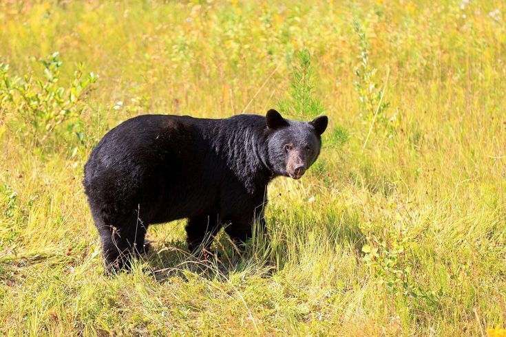 Bear Watching - Which Species Call BC Home? #bears #britishcolumbia #vancouverisland #BC #grizzly #spirit #kermodo #blackbear #brownbear #bearaware #bearsafety #safety #camping