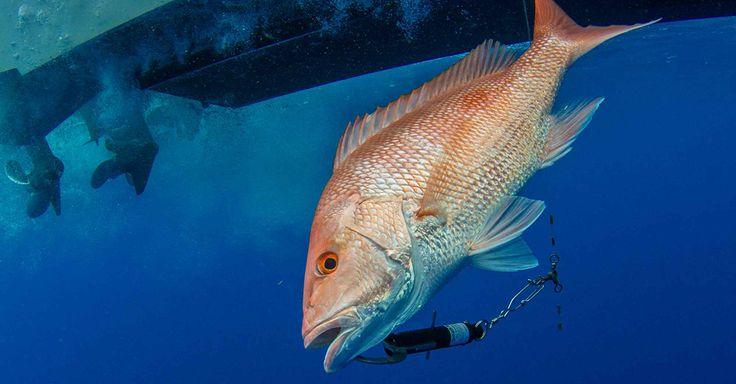 Fish Descender Devices | Sport Fishing Magazine