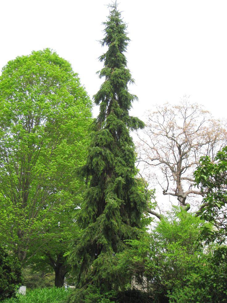 havupuut puutarhassa