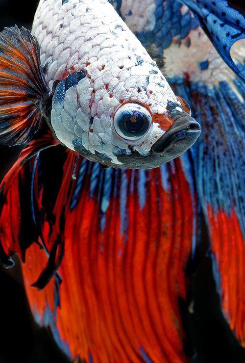 Impresionantes retratos del pez beta que muestran su exótica belleza                                                                                                                                                     Más