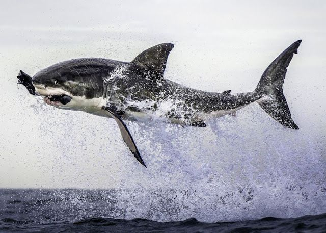 Esta imagen captura el momento en que un gran tiburón blanco (Carcharodon carcharias) de más de cuatro metros de largo vuela literalmente fuera del agua para capturar un señuelo de goma.