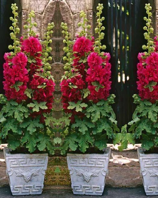Photo Rose trémière naine rouge
