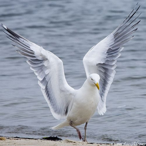 Herring Gull.  Common along the shores of Lake Ontario.  Sometimes seen inland.