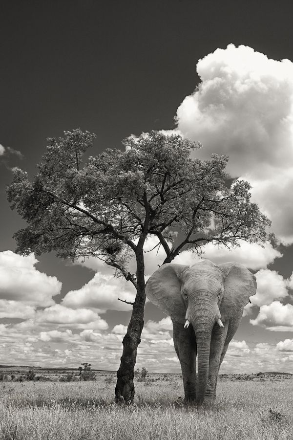 A bull elephant seeking shade under a tree on the open plains in central Kruger in South Africa, ~ WOW