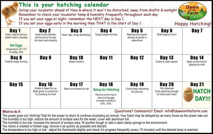 Chicken Hatching Calendar