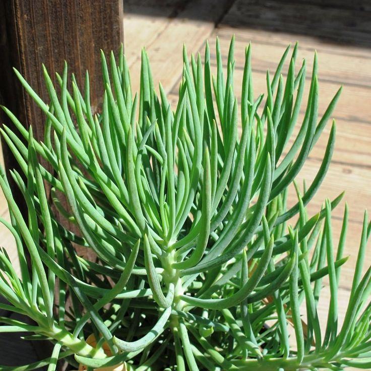 45 best my plants images on pinterest succulent plants