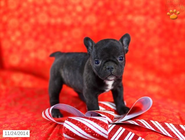 French Bulldog Puppy for Sale in Pennsylvania