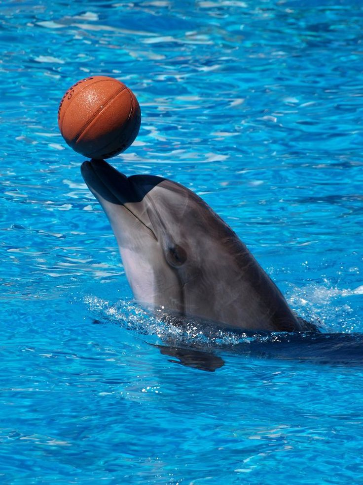 Talented basketball player by DakanCZ Dolphin Pinterest - marine mammal trainer sample resume