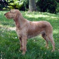 #dogalize Razze cani: il cane Segugio Italiano a pelo forte #dogs #cats #pets