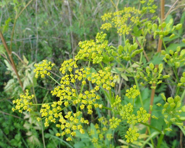 Pastinaak, Pastinaca sativa subsp. Sativa. | de wilde bloemplanten van ...